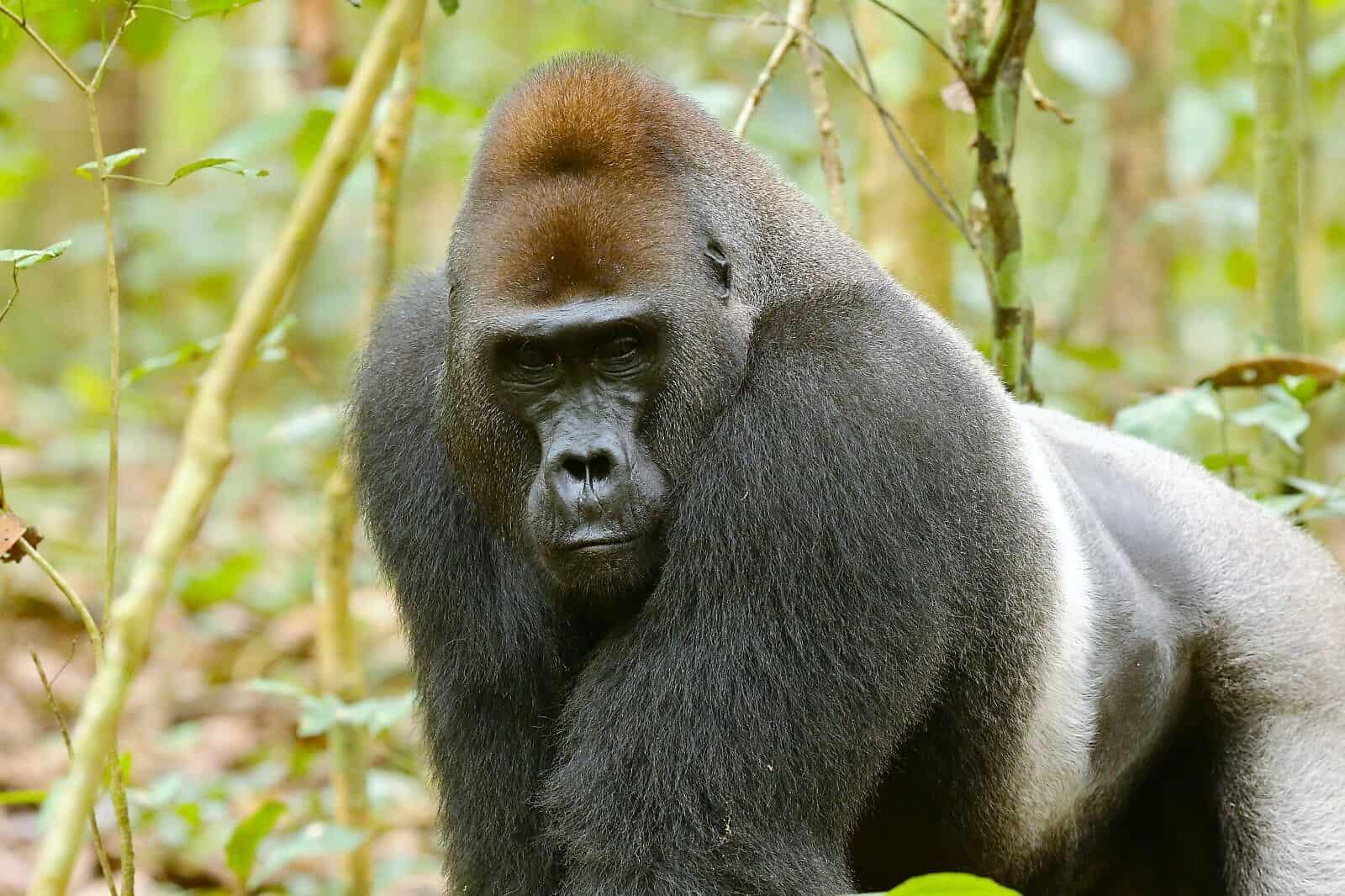 Verde Gorilla dating